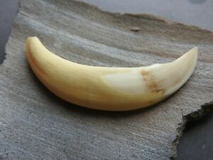 Big Antique Tooth of a large beast from the Viking settlement 10-11 AD