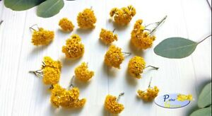 Golden Clusters Everlasting Seeds - Helipterum humboldtianum - Annual Flower