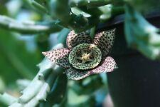 "1 Stapelia Variegata, Orbea, Starfish Carrion Plant Toad Cactus Succulent 6""- 8"""