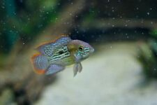 Green Terror (Andinoacara Rivulatus) approx. 5cm Tropical Fish