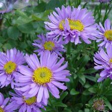 100PCS Rare Light Purple Callistephus Chinensis Flower Seed Balcony Potted Aster