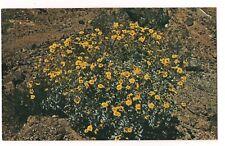WHITE BRITTLEBUSH Yellow Blossoms Desert Flower Plant Postcard