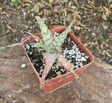 Beautiful A+ Aloe Sidewinder Rare Kelly Griffin Hybrid Cultivar Amazing Colors