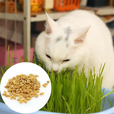 GUT 1 Bag Harvested Cat Grass Approx 800 Seeds Organic Including Growing Guide