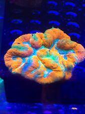 Rainbow Symphilia !!!WYSIWYG Live Coral Frag - Pop Corals Candy Shop