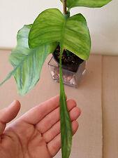New listing Epipremnum 'Skeleton Key *Rare Collector's Aroid* Odd Shaped Leaves +Free Heat