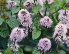 Mentha aquatica (Water mint) marginal bare root plant/rooted cutting.