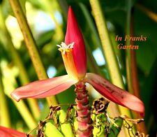 Musa mannii @ MANNS ZWERGBANANE@ Banane @ Tolle Blüte+Frucht @ 30 Samen