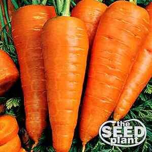 Danvers Half Long Carrot Seeds - 500 SEEDS NON-GMO