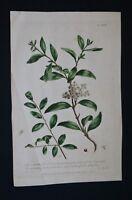 1756 Botanical Engraving Cassine From Philip Miller's Gardener's Dictionary