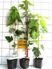 Acer rubrum -  Amerikanischer Rotahorn / Scharlachahorn   -Pflanze-