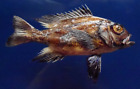 Midnight Snapper Macolor macularis, Macolor niger Fish Taxidermy Oddities