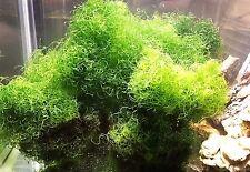 Chaeto, One(1) Cup Size, Chaetomorpha, Refugium, Copepods, Beginner, Reef.algea