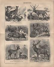 Lithografie 1902: HIRSCHE. Moschustier Milu Renntier Damhirsch Reh Edelhirsch