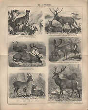 LITOGRAFICO 1902: Cervi. muschio animale MILU renntier Mesopotamia REH preziose Hirsch