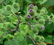 Greater Burdock Wildflower ~ 25 seeds ~ Arctium lappa - Free US Shipping.