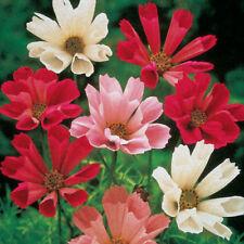 FLOWER COSMOS BIPINNATUS SEASHELLS MIX 500 FLOWER SEEDS