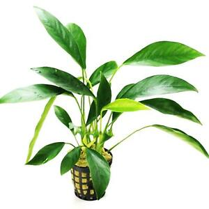 Anubias Congensis MOTHER XXL Potted Super Size Live Aquarium Plant Decorations