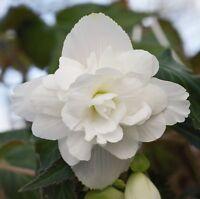 50 Begonia Seeds Illumination White Pelleted Seeds BULK SEEDS