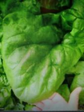 Heirloom Giant Noble Spinach Seeds Pack Of 100!