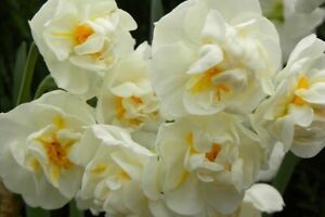 Narcissus Cheerfulness - 15 large bulbs size 14+