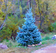 100PCs Colorado Sky Blue Tree Seeds Spruce Picea Pungens Glauca Rare Bonsai Tree