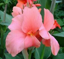 Canna lily Pink President pink/Coral flower green foliage bulb/rhizome Tropical