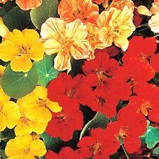 "Nasturtium (Tropaeolum majus) ""Whirlybird Mix"" x 10 seeds. Earliest Bush variety"