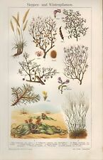 Chromo-Lithografie 1910: Steppen- und Wüsten-Pflanzen. Wüste Blume Wurzel Blüte