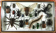 Real Butterfly Insect Bug Taxidermy Display in Framed Box Big Set Gift gpasy 09