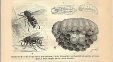 Stampa antica INSETTI CALABRONE Vespa crabro 1891 Old antique print