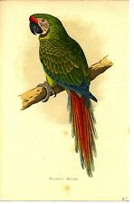 """Parrots in Captivity""  W.T. Greene, Lydon chromolithograph Military Macaw"