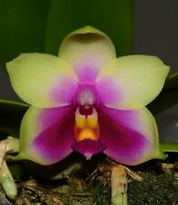 Rare phalaenopsis bellina orchids seedling species 50mm VERY FRAGRANT