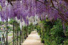 WISTERIA SINENSIS PLANT - RARE FRAGRANT CLIMBER CLIMBING PLANT 10 SEEDS