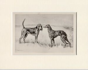 BLOODHOUND & DEERHOUND RARE 1897 ANTIQUE DOG PRINT ARTHUR WARDLE READY MOUNTED