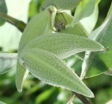 TOP-Deko, Früchte wie Papageien, Papageienpflanze (Asclepias syriaca), 40 Samen