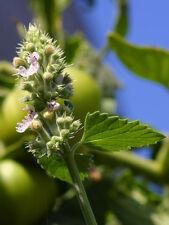 100 Seme limone catnip- Nepeta cataria varianti citriodora