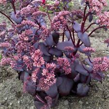 Plants Sedum josé aubergine   pot 1 litre
