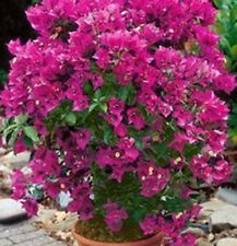 RED ZED Bougainvillea rich red-magenta flowers compact plant in 140mm pot