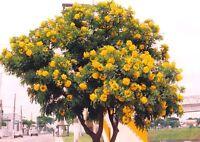 Cassia leptophylla, seltene gelbe Blühre,rare yellow flower, 10 Samen, 10 seeds