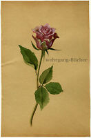 A Rose, water color painting from ca. 1930