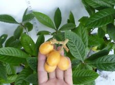 Japanese Plum LOQUAT FRUIT 8