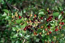 Mahaleb Cherry (Prunus mahaleb - Cerasus mahaleb)  30 seeds