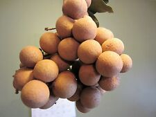 4 Florida Longan Plants in 1 Pot Tropical Fruit Tree Dragon Eye