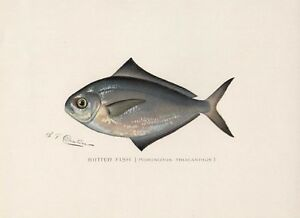 S F DENTON - Butter Fish - Original 1900 Chromolithograph Print Forest Game
