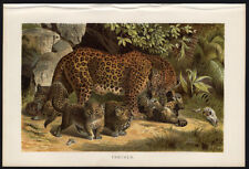 Antique Print-PANTHER-FAMILY-Brehm-1892