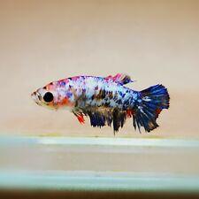 "Live Betta Fish - Female Halfmoon -""Koi Candy Fancy"" Betta High Quality (QJUL27)"