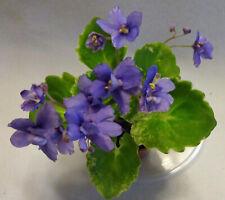 African violet Biscayne Trail live plant in pot