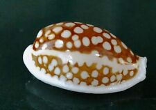 """Cypraea Cribraria 34.3 mm GEM """" unusual MANTLE LINE and spot pattern BIGGER size"""