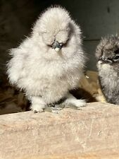 6 Bearded Amp Crested Select Show Quality Fertile Silkie Chicken Hatching Eggs